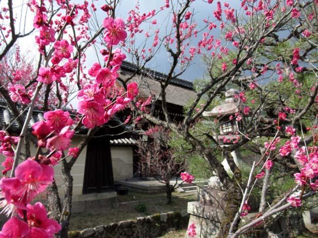 梅宮大社 梅が咲き始めた_e0048413_16032854.jpg
