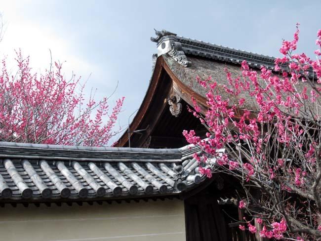 梅宮大社 梅が咲き始めた_e0048413_16033107.jpg