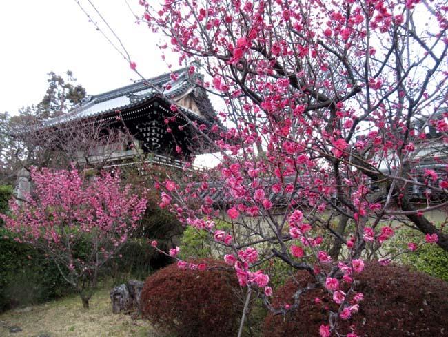 梅宮大社 梅が咲き始めた_e0048413_16034391.jpg