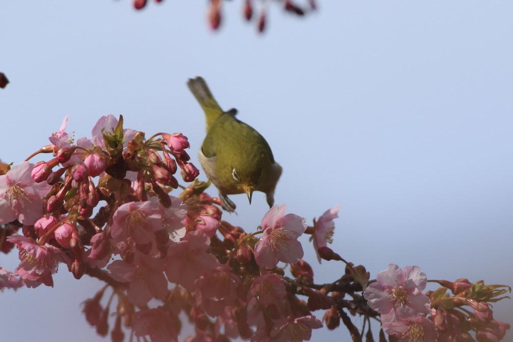 河津桜(mejiro)_a0124530_16165701.jpg