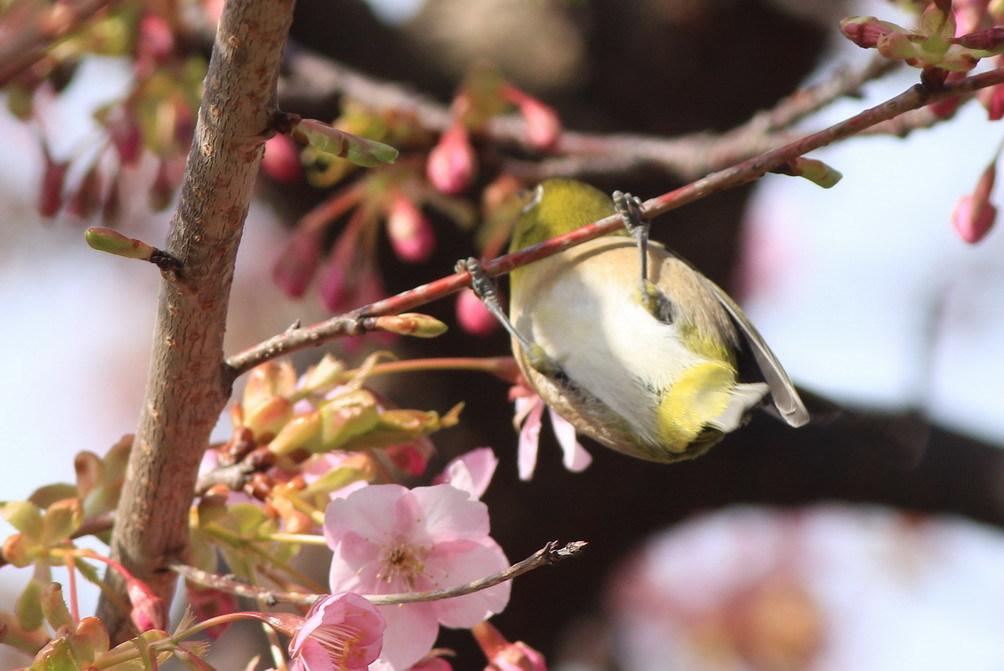河津桜(mejiro)_a0124530_16182390.jpg