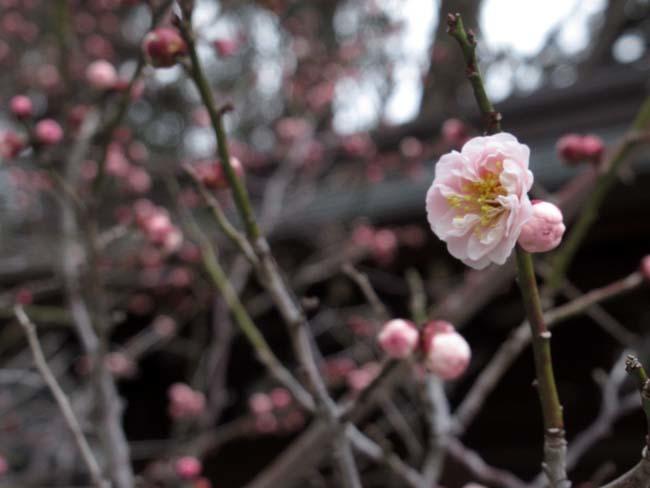 大徳寺と今宮神社 梅花咲き始め_e0048413_21050570.jpg
