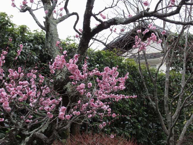 大徳寺と今宮神社 梅花咲き始め_e0048413_21052664.jpg