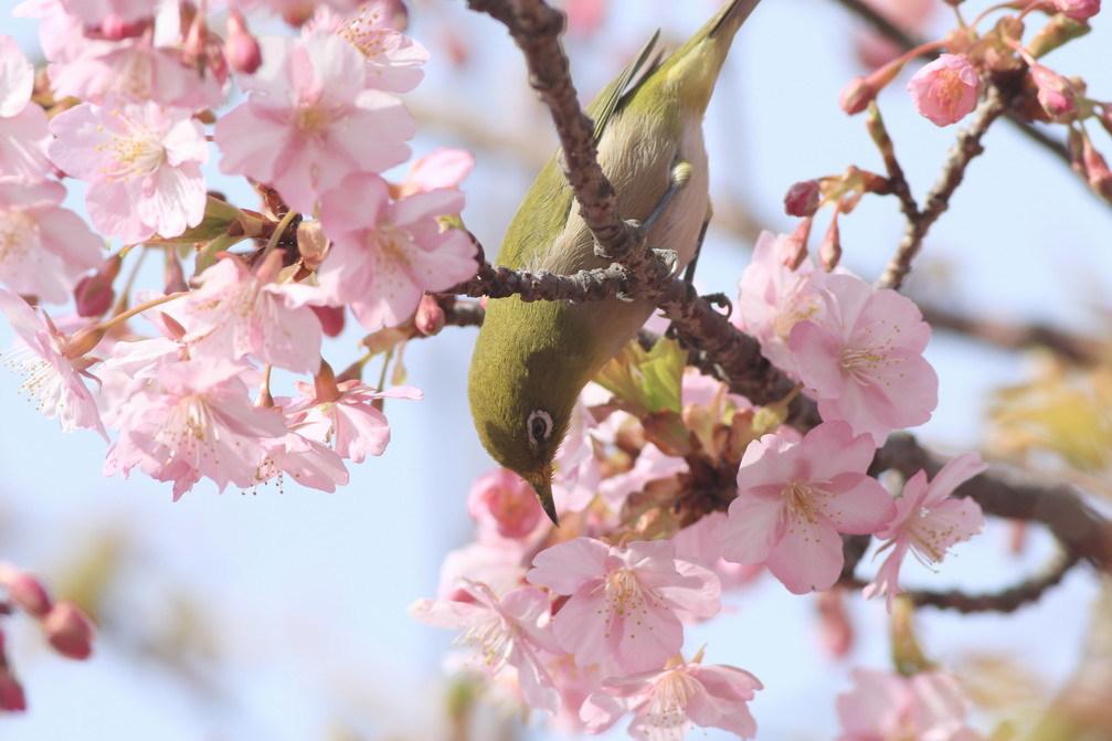 河津桜(mejiro)_a0124530_09520214.jpg