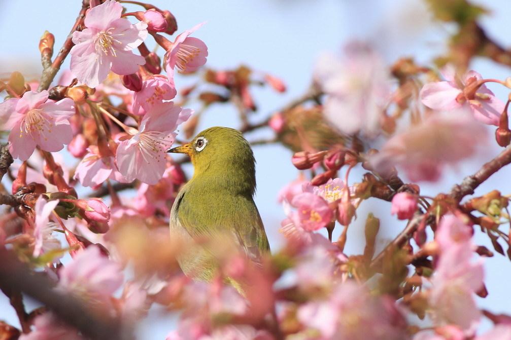 河津桜(mejiro)_a0124530_09525043.jpg