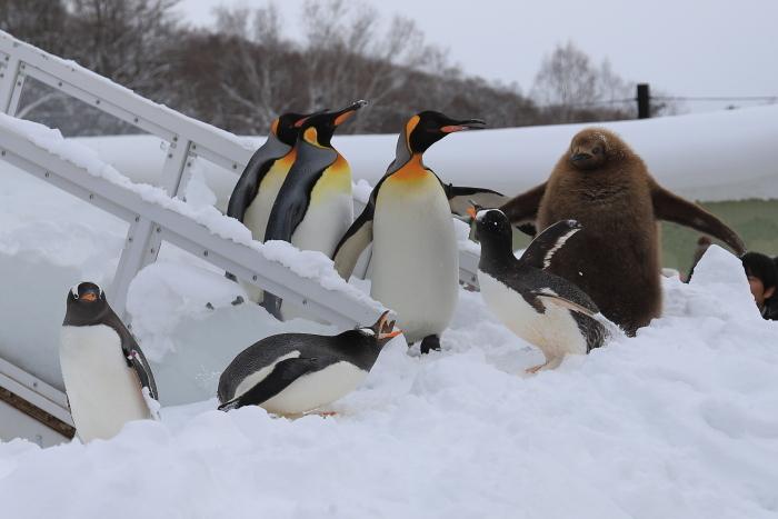【旭山動物園/ペンギンのお散歩】北海道旅行 - 3 -_f0348831_22121056.jpg