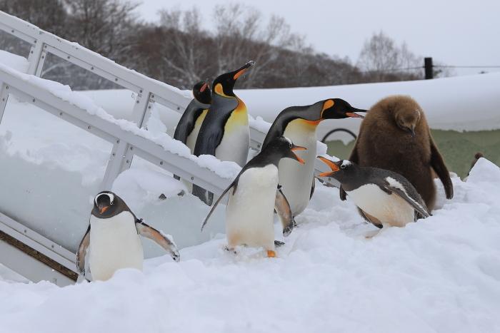 【旭山動物園/ペンギンのお散歩】北海道旅行 - 3 -_f0348831_22121095.jpg