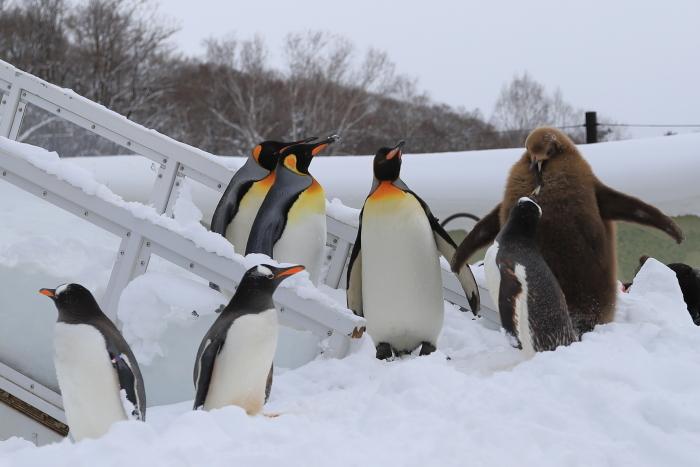 【旭山動物園/ペンギンのお散歩】北海道旅行 - 3 -_f0348831_22121127.jpg