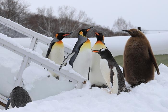 【旭山動物園/ペンギンのお散歩】北海道旅行 - 3 -_f0348831_22121456.jpg