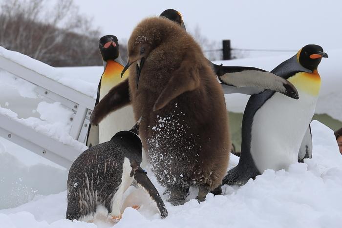 【旭山動物園/ペンギンのお散歩】北海道旅行 - 3 -_f0348831_22121512.jpg