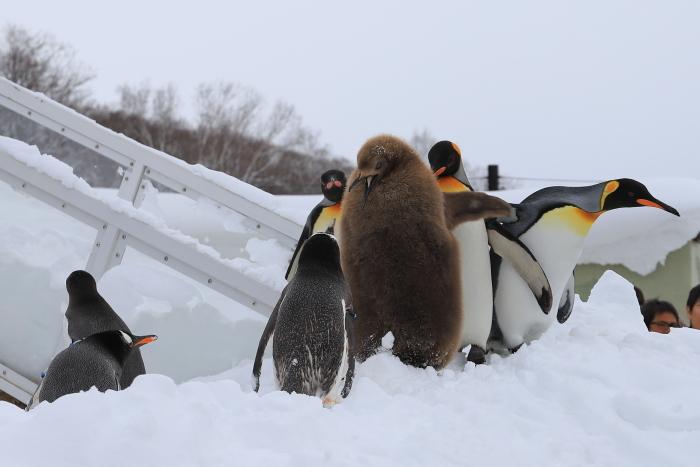 【旭山動物園/ペンギンのお散歩】北海道旅行 - 3 -_f0348831_22121515.jpg