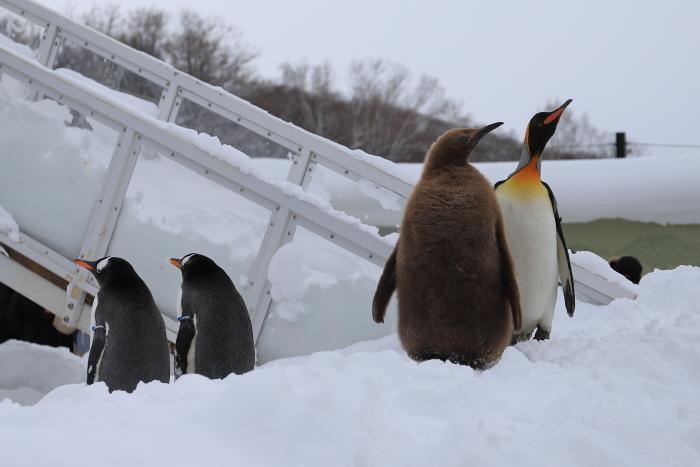 【旭山動物園/ペンギンのお散歩】北海道旅行 - 3 -_f0348831_22122016.jpg