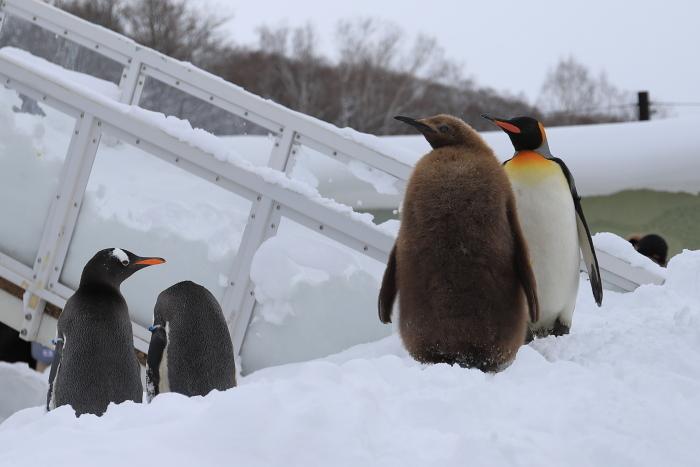 【旭山動物園/ペンギンのお散歩】北海道旅行 - 3 -_f0348831_22122040.jpg