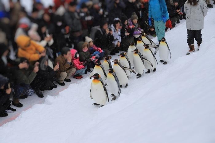 【旭山動物園/ペンギンのお散歩】北海道旅行 - 3 -_f0348831_22504946.jpg