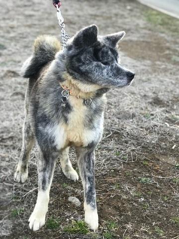 秋田犬の牡丹ちゃん、ご紹介!_f0242002_16040694.jpg