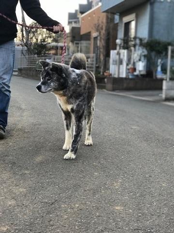 秋田犬の牡丹ちゃん、ご紹介!_f0242002_16042892.jpg