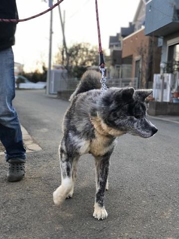 秋田犬の牡丹ちゃん、ご紹介!_f0242002_16043402.jpg