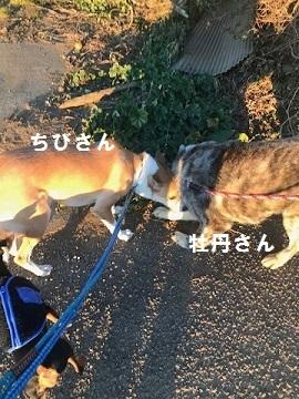 秋田犬の牡丹ちゃん、ご紹介!_f0242002_16081648.jpg