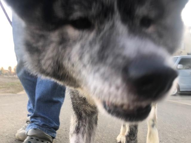 秋田犬の牡丹ちゃん、ご紹介!_f0242002_16190862.jpg