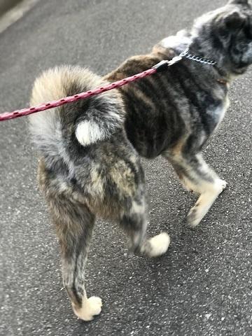 秋田犬の牡丹ちゃん、ご紹介!_f0242002_16204378.jpg