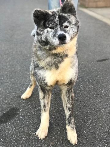 秋田犬の牡丹ちゃん、ご紹介!_f0242002_16592480.jpg