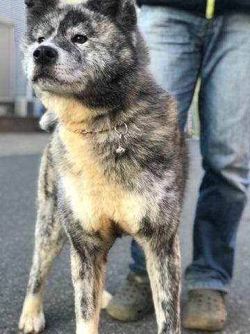 秋田犬の牡丹ちゃん、ご紹介!_f0242002_16592874.jpg