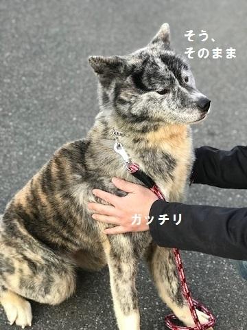 秋田犬の牡丹ちゃん、ご紹介!_f0242002_16593557.jpg