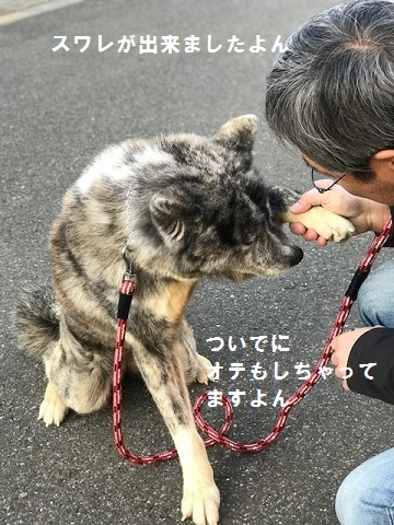 秋田犬の牡丹ちゃん、ご紹介!_f0242002_16594464.jpg