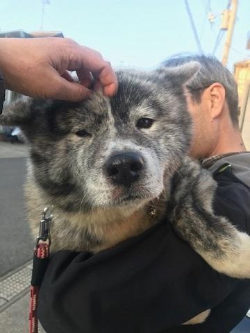 秋田犬の牡丹ちゃん、ご紹介!_f0242002_16595488.jpg