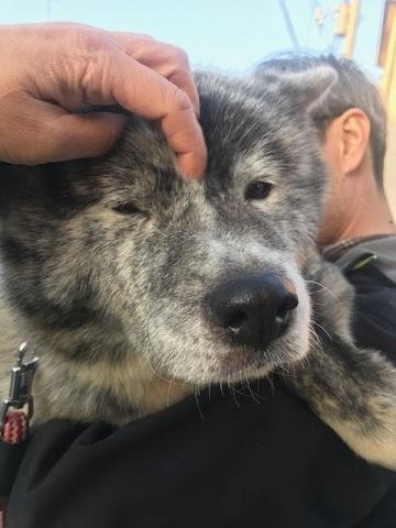 秋田犬の牡丹ちゃん、ご紹介!_f0242002_16595817.jpg