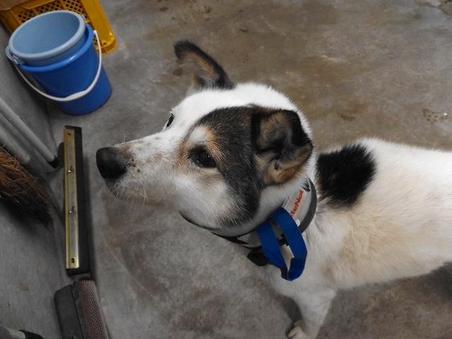 2/26センターレポート 旧子犬舎1頭・子犬舎3頭_f0078320_12573857.jpg