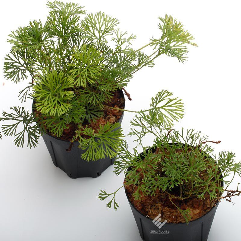 新掲載植物~ 南米の小型着生シダ エラフォグロッサム・ペルタツム各種_d0376039_02012406.jpg