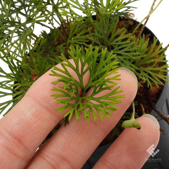 新掲載植物~ 南米の小型着生シダ エラフォグロッサム・ペルタツム各種_d0376039_02062684.jpg