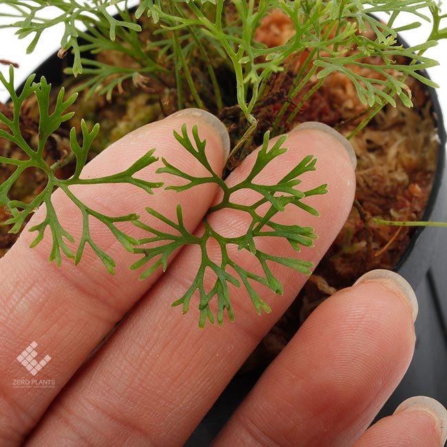 新掲載植物~ 南米の小型着生シダ エラフォグロッサム・ペルタツム各種_d0376039_02065913.jpg