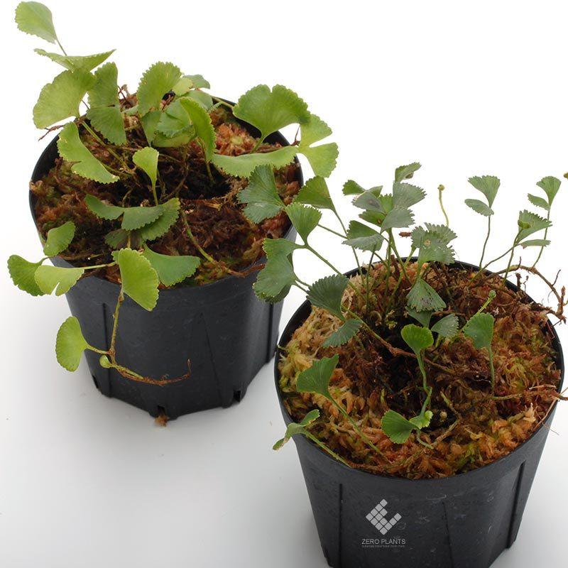 新掲載植物~ 南米の小型着生シダ エラフォグロッサム・ペルタツム各種_d0376039_02134509.jpg