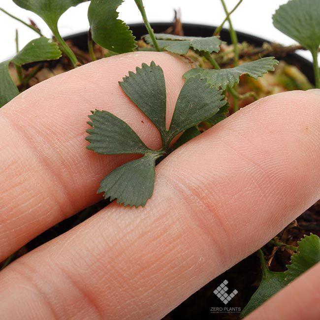 新掲載植物~ 南米の小型着生シダ エラフォグロッサム・ペルタツム各種_d0376039_02232376.jpg