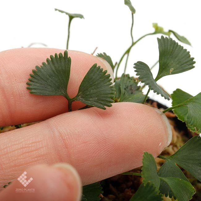 新掲載植物~ 南米の小型着生シダ エラフォグロッサム・ペルタツム各種_d0376039_02235484.jpg