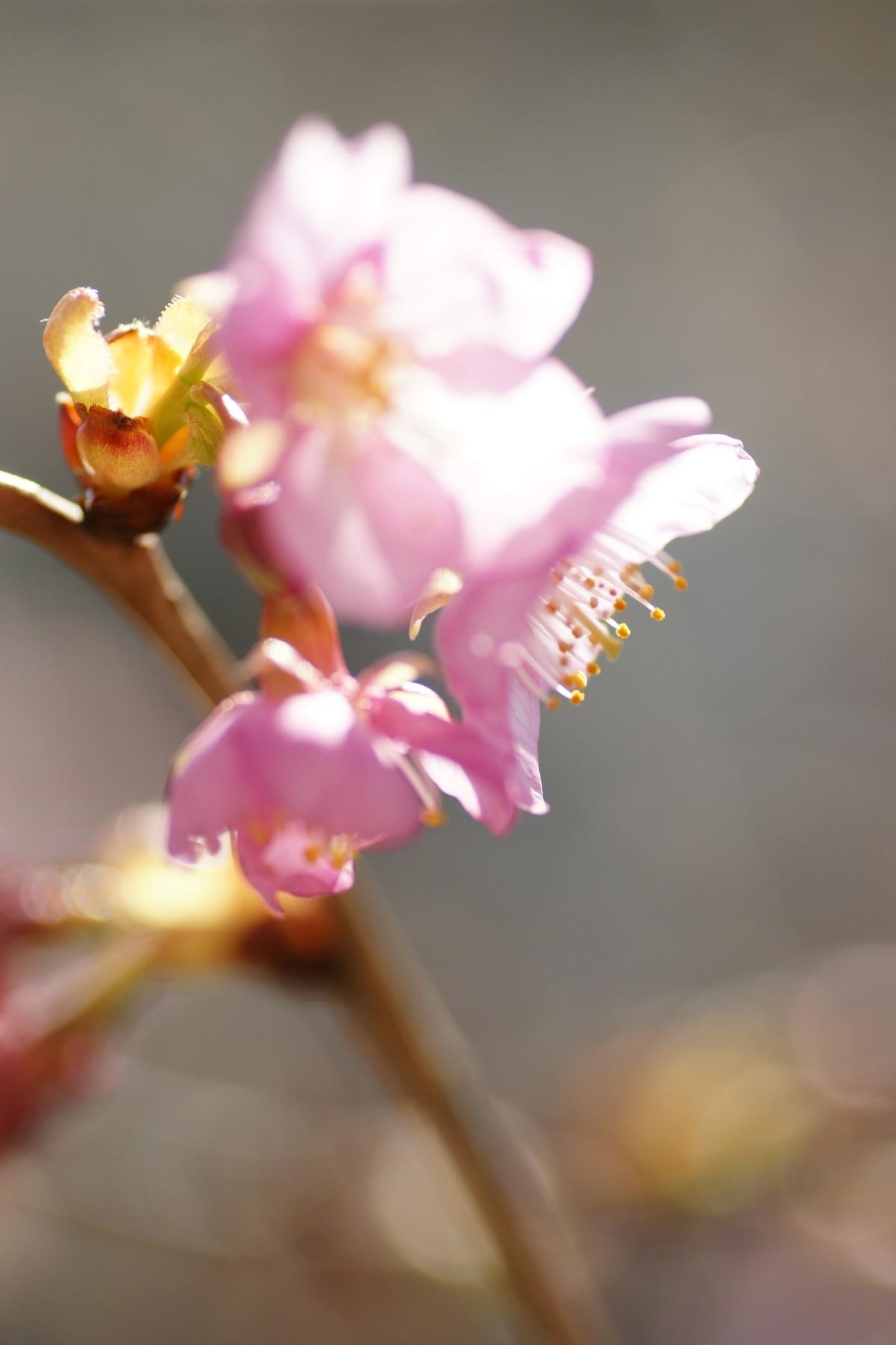 古いカメラとレンズで桜と梅を撮る_f0381792_11202981.jpg