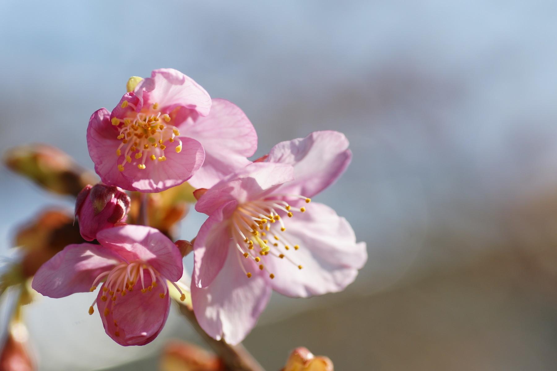 古いカメラとレンズで桜と梅を撮る_f0381792_11213002.jpg