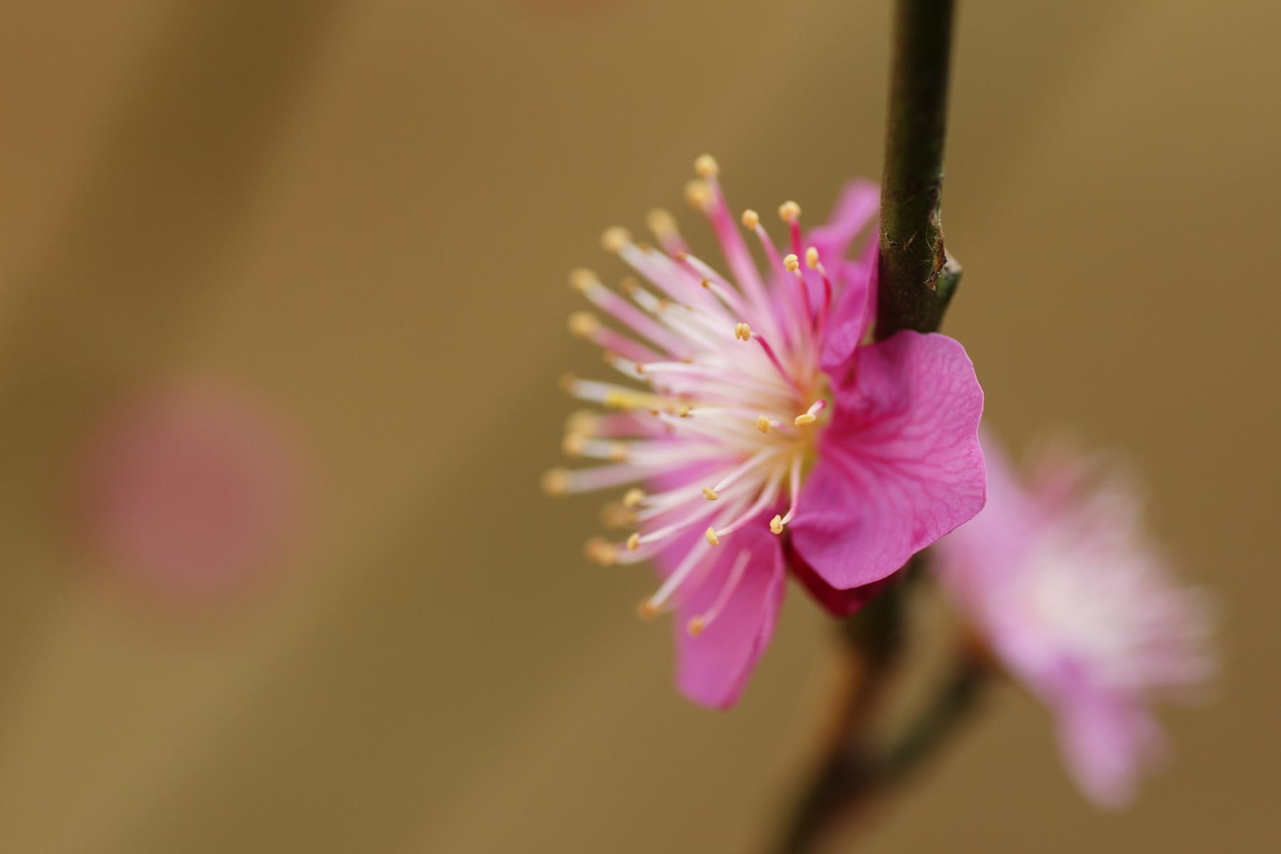古いカメラとレンズで桜と梅を撮る_f0381792_11235729.jpg