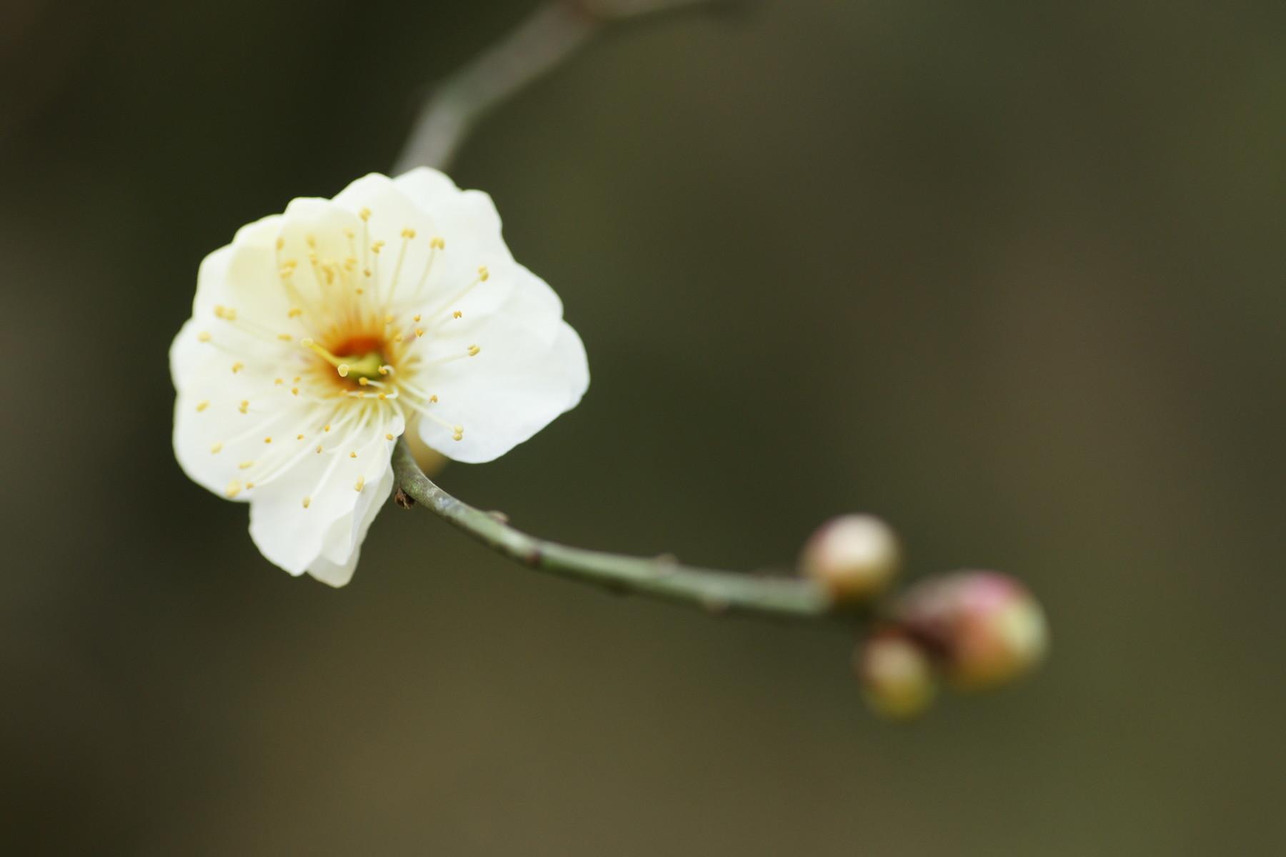 古いカメラとレンズで桜と梅を撮る_f0381792_11254892.jpg