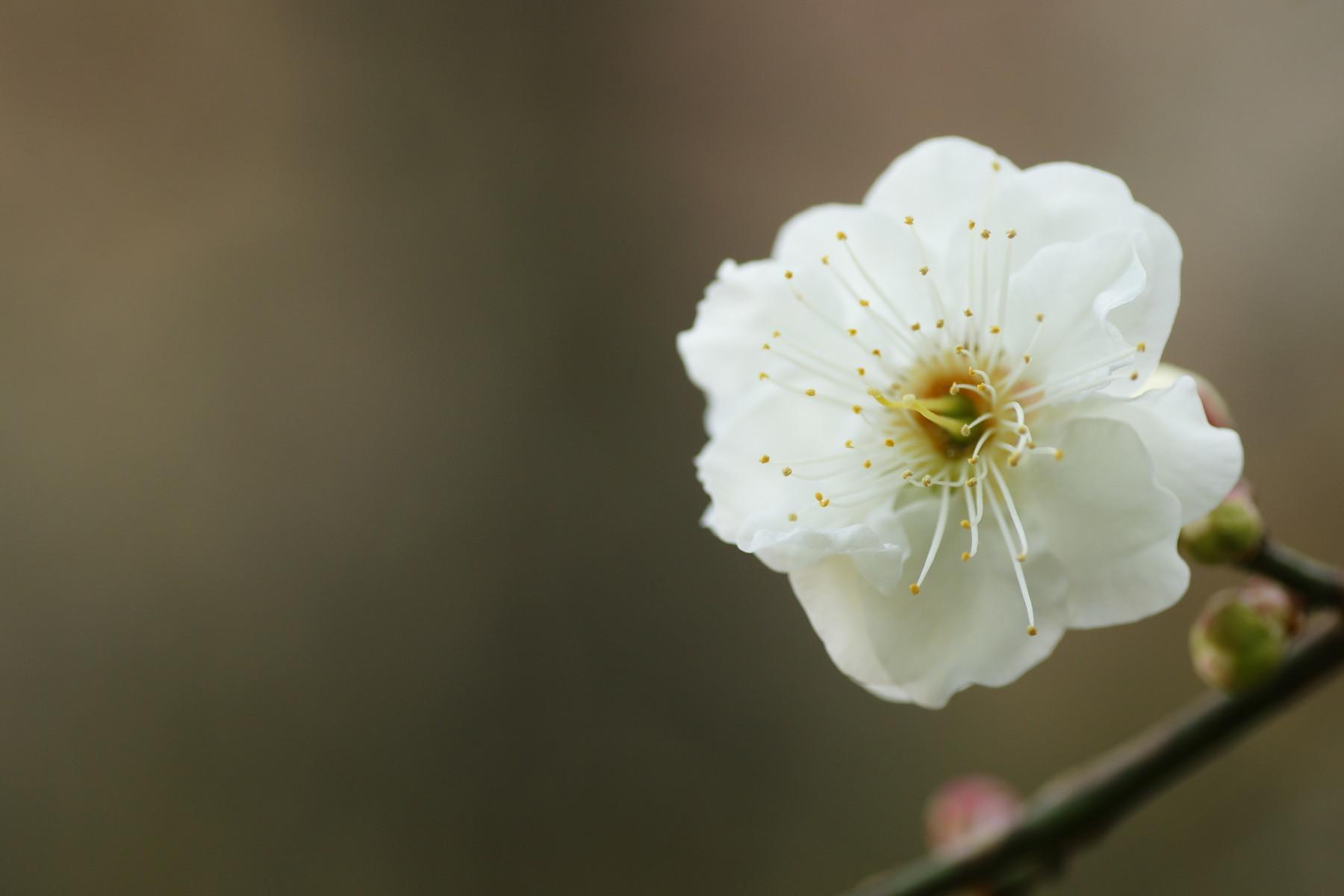 古いカメラとレンズで桜と梅を撮る_f0381792_11270262.jpg