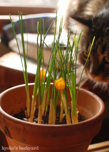 クロッカスの花とBailey。記念撮影、失敗の巻_b0253205_07563031.jpg