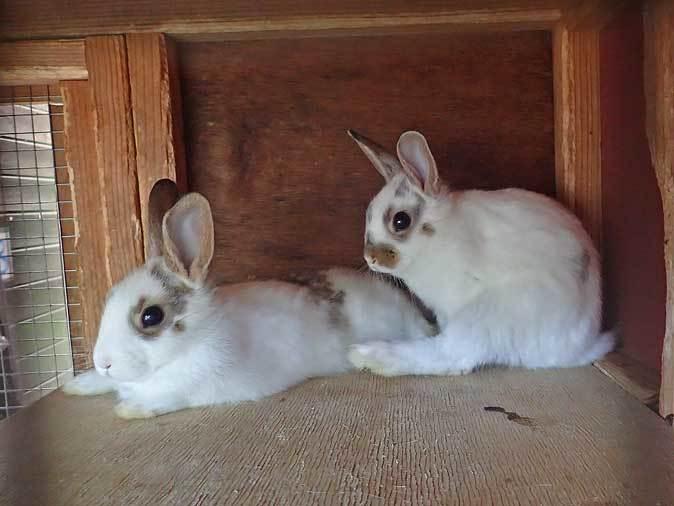 SCZOOなかよしコーナー~ヤギっ仔の成長とウサギの赤ちゃん_b0355317_21540214.jpg
