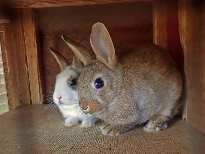 SCZOOなかよしコーナー~ヤギっ仔の成長とウサギの赤ちゃん_b0355317_21562546.jpg