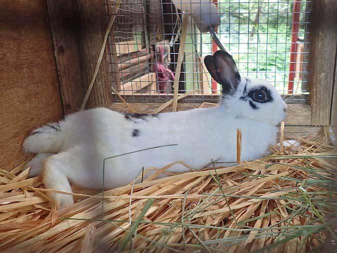 SCZOOなかよしコーナー~ヤギっ仔の成長とウサギの赤ちゃん_b0355317_21563421.jpg