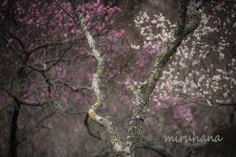 湯河原梅林*現在7分咲き_c0037519_22511014.jpg