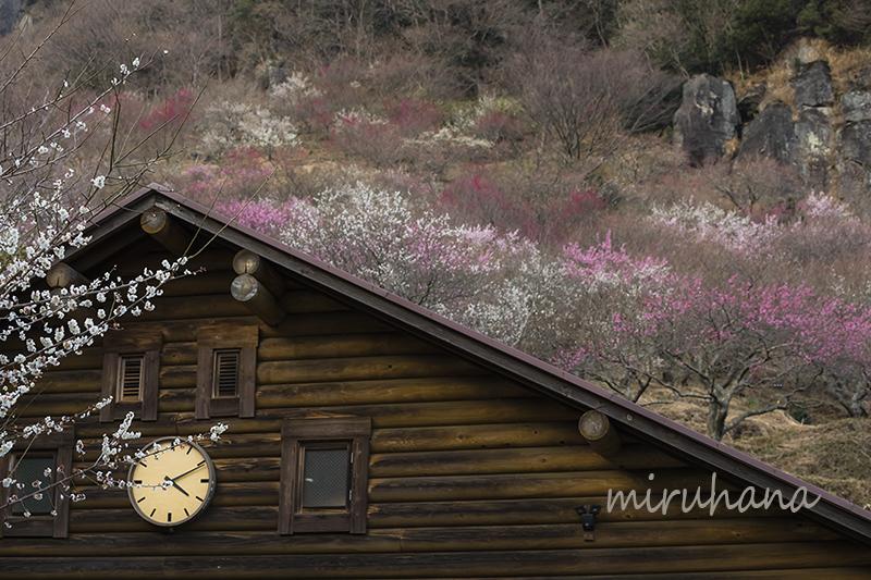 湯河原梅林*現在7分咲き_c0037519_23255521.jpg
