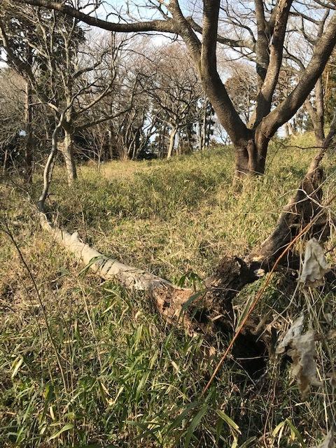 ヤバイ!六国見山の同期の桜が倒木の下敷きに2・20_c0014967_07471578.jpg