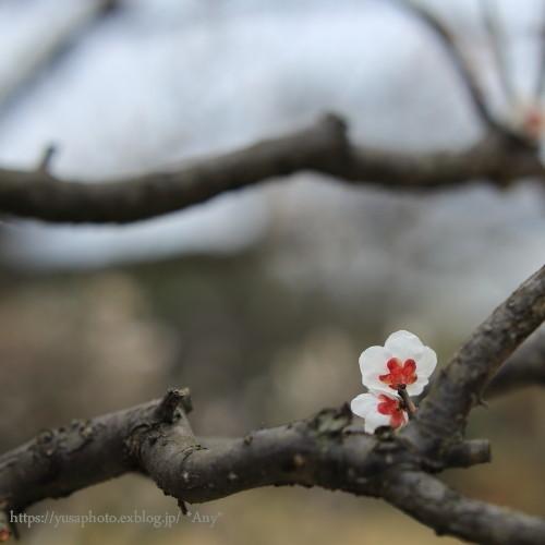 梅の枝とましかく_e0347431_21255788.jpg